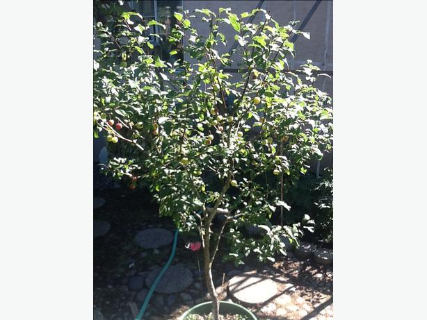 Plum tree for sale