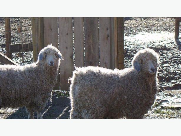 two angora goats