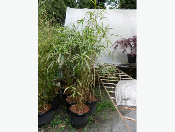 7 gallon size Green Onion Bamboo