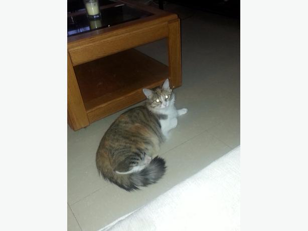 Free calico indoor cat central ottawa inside greenbelt for Having an indoor cat