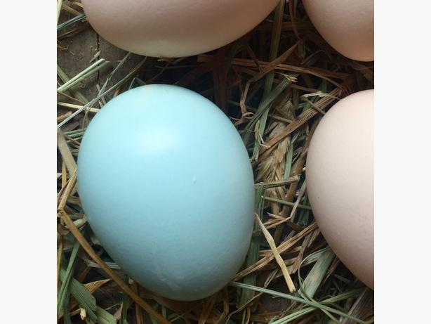 Wheaten / Blue Wheaten Ameraucana fertile eggs