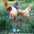 Fertile Hatching Eggs fom Marans, Swedish Flowers, Ameraucana and Olive Eggers