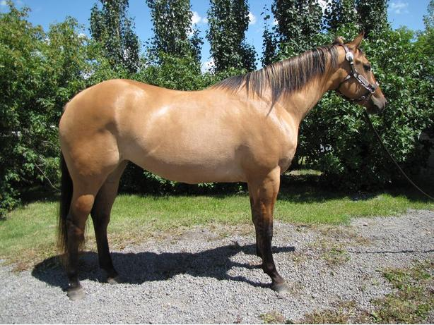 REDUCED 3 Year Old Registered QH Mare