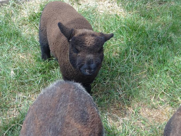 Dylan - Olde English Southdowne Baby Doll Ram