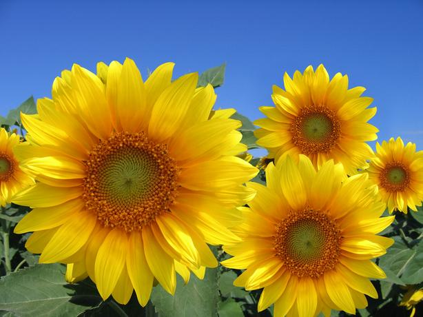 "Beautiful 30""x40"" High Definition ""Happy Sunflower"" Picture."