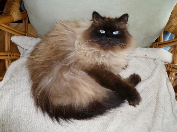 "Missing ""Beau""  Blue eyed Himalayan Male Cat"