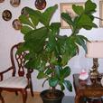 6 foot ficus tree