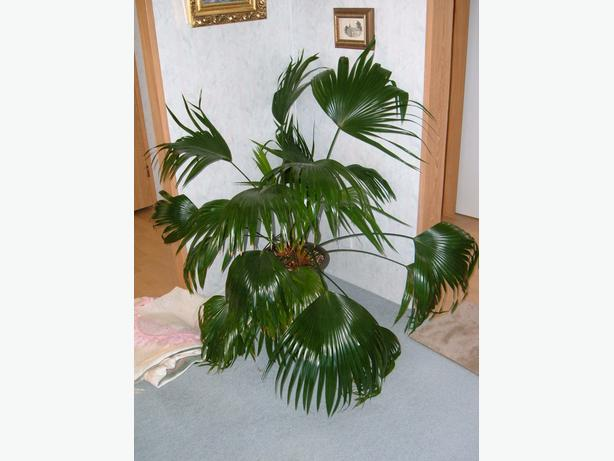 chinese large palm plant