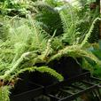 1 gallon size Ferns