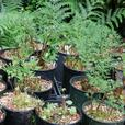 1 gallon size Ferns