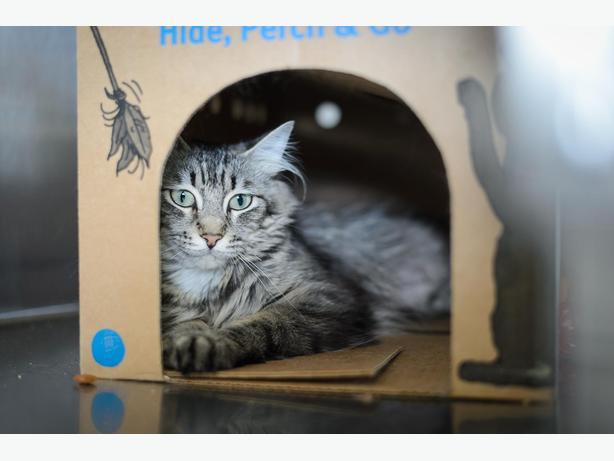Mai - Domestic Longhair Cat