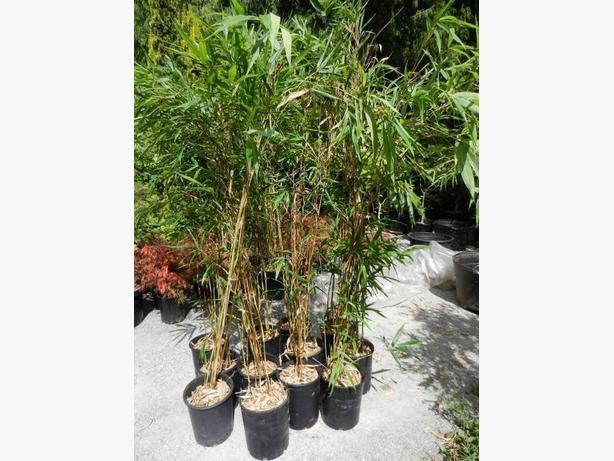 5 gallon size Semiarundinaria yashadake Kimmei Bamboo