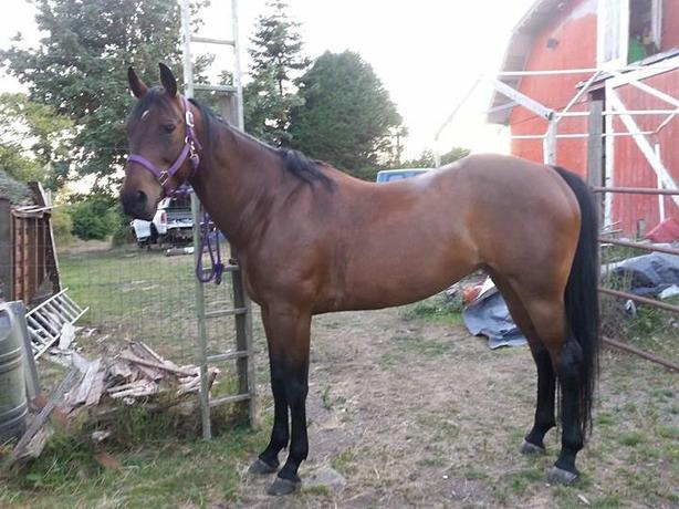 Registered (Solid) Paint Mare