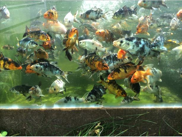 Hand fed koi fish mill bay cowichan for Local koi fish for sale