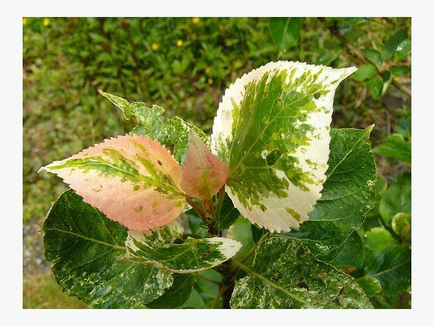 Varigated Poplar