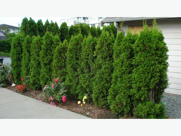 Occidentialis/Pyramidalis - Decorative Cedar trees...