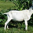 BUCK GOATS AT STUD, Registered Purebred dairy bucks