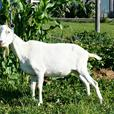 BUCK GOATS AT STUD, Registered Purebred dairy bucks