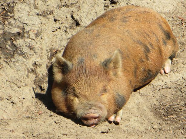 Kune Kune/Potbelly Mini Pigs