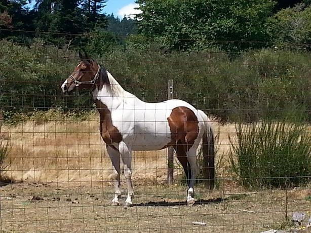 Beautiful Regestered Paint Mare