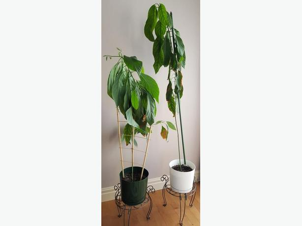 Organic Avocado Plants
