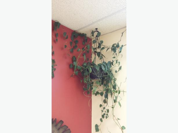 Real Hanging vine plant