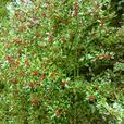 Holly greenery