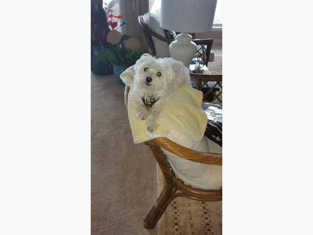 LOST LITTLE WHITE DOG
