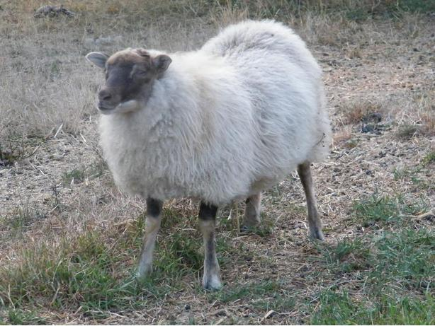 Registered Icelandic ewe