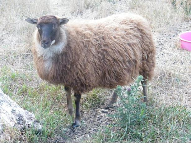 Registered Icelandic ewe