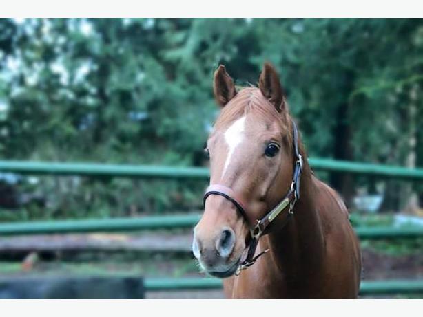 Beautiful  Registered Quarter Horse.