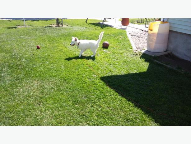 eskimo dog