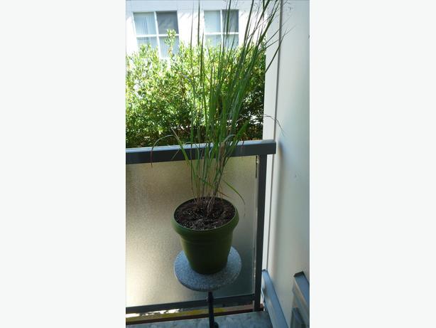 Ornamental Grasses Victoria Bc : Ornamental grass and pot victoria city
