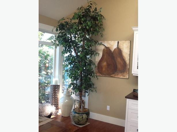 10 foot ficus tree