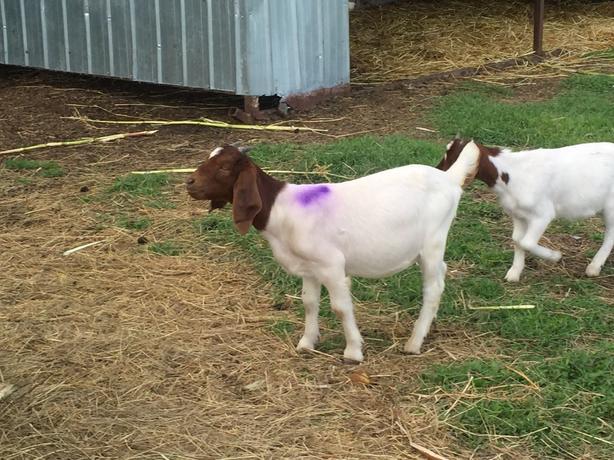 Butcher Goats