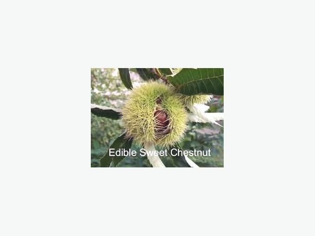WANTED: Looking for sweet chestnuts