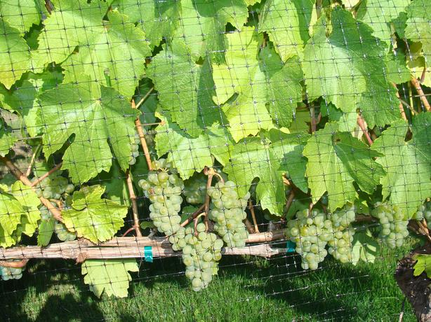 VANCOUVER ISLAND WINE GRAPES FOR SALE