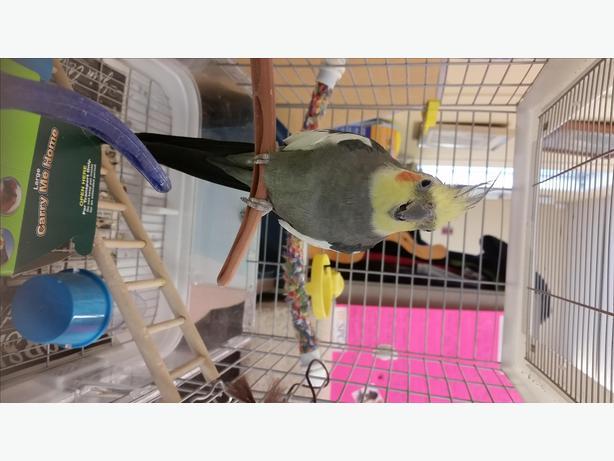 Joey - Cockatiel Bird - Exotic
