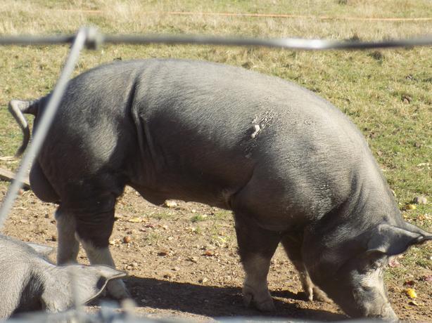 4 year old Berkshire boar
