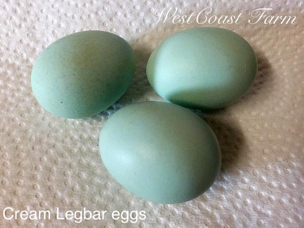 Cream Legbar- Fresh Fertile Hatching Eggs