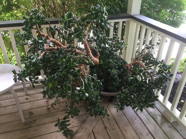 jade plant,