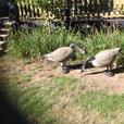 Canada Geese Decoys