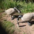 Canada Geese Decoys/Outside Decor.