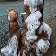 Old growth fir burrow