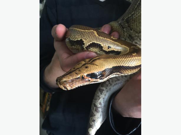 Borneo Python