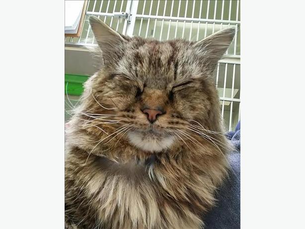 Dapper Don - Domestic Medium Hair Cat