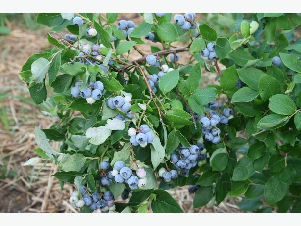 Blueberry Plants, $30-80
