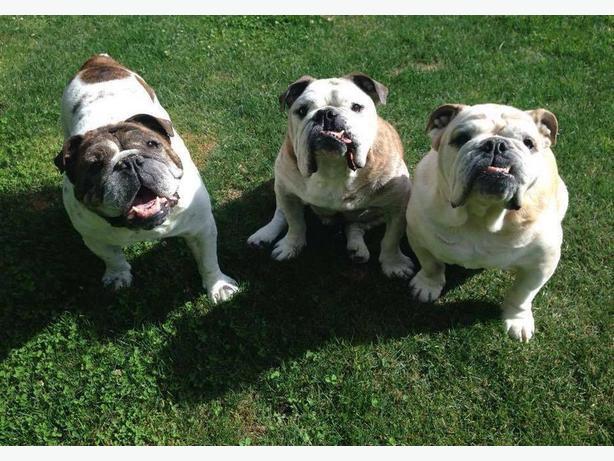 Victoria Bulldog Walks - Come Join Us