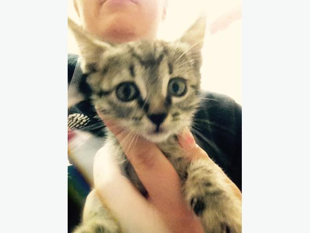 Cayenne - Domestic Short Hair Kitten