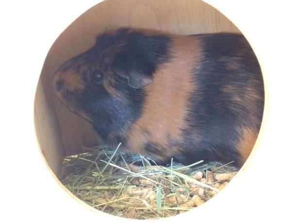 Chloe - Guinea Pig Small Animal